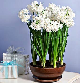 daffodil-planter