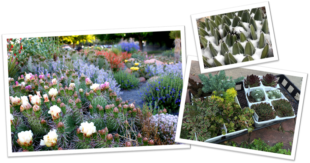 Friends Of Boerner Botanical Gardenscold Hardy Cacti Succulents For The Wisconsin Garden